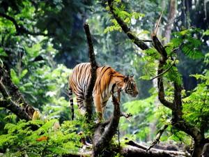 Tigre de bengala en la selva