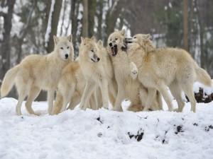 Manada de lobos blancos en un frío día de invierno