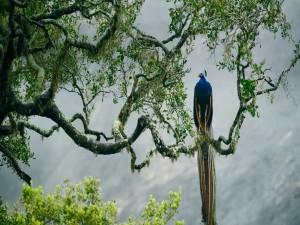 Pavo real en la rama de un árbol