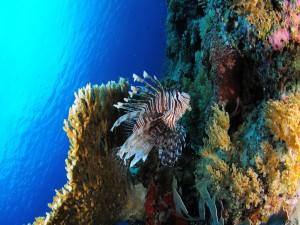 Pez león junto a un arrecife de coral
