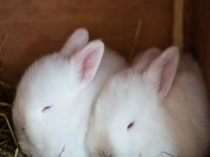 Dos conejitos blanco durmiendo en la paja