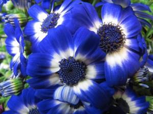 Maravillosas flores azules y blancas en el jardín