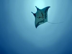 Una manta raya nadando en el océano