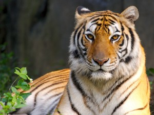 Un bello tigre