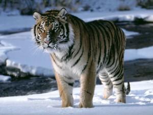 Un tigre sobre la nieve