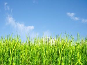Hierba verde en el campo