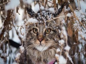 Gato Maine Coon entre unas ramas en invierno