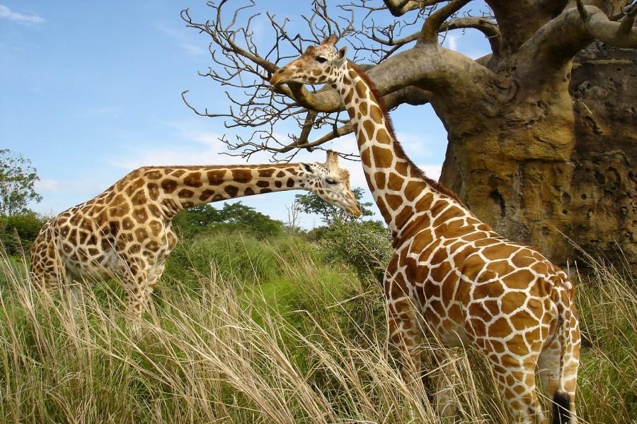 Dos hermosas jirafas junto a un árbol