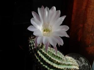 Bella flor de cactus