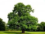 Gran roble con hojas verdes