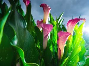 Calas rosas junto a sus hojas verdes