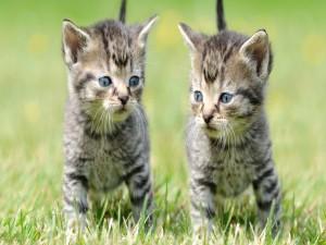 Dos gatitos en la hierba