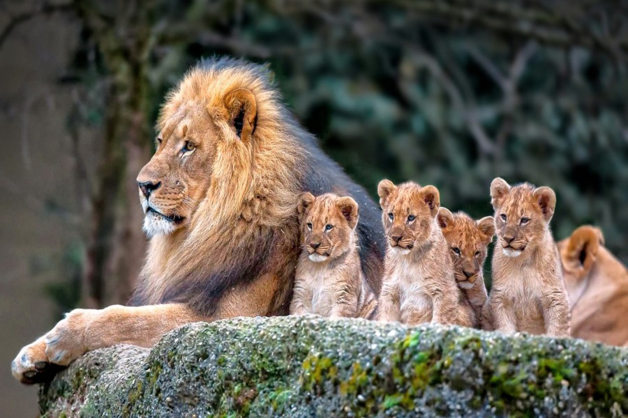 Familia de leones sentados sobre una roca