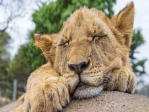 Pequeño león durmiendo sobre una roca
