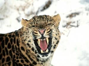 Un leopardo pasando frío