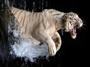 Tigre blanco enojado saliendo del agua