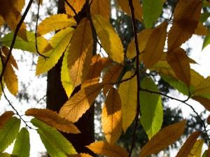Hojas de otoño bañadas con la luz del sol