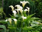 Calas blancas en el jardín
