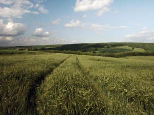 Huellas en un campo de trigo verde