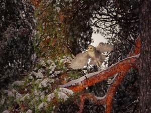 Búho nival entre las ramas nevadas de un bosque