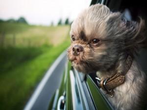 Perro mirando por la ventanilla de un coche
