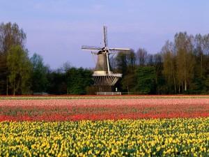 Molino en un campo de tulipanes