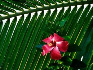 Hibisco junto a una hoja verde
