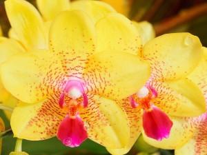 Gotas de agua sobre unas orquídeas amarillas