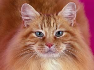 Un gato con gran melena