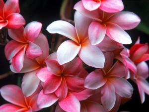 Plumeria rosa