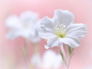 Flor blanca sobre un fondo de color rosa