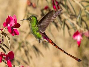 Colibrí revoloteando sobre una flor rosa