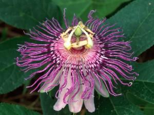 Una bonita flor de la pasión (Passiflora)