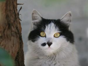 Gato con una mancha negra en el hocico