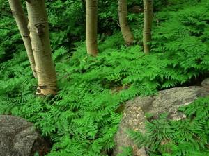 Helechos junto a los árboles y rocas