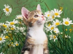 Un gato entre margaritas