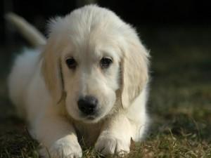 Bello perro blanco tumbado en la hierba