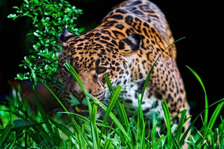 Jaguar entre la hierba verde