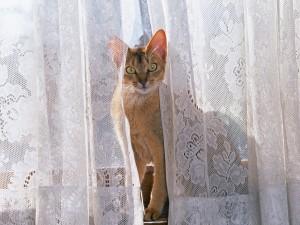 Un gato entre las cortinas