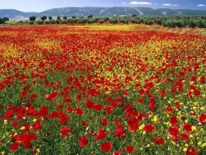 Un gran campo de amapolas