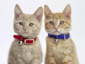 Gatos con unos cascabeles