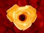 Rosa amarilla sobre pétalos rojos