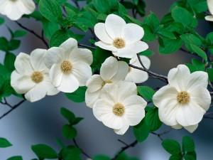Bonitas flores blancas en las ramas