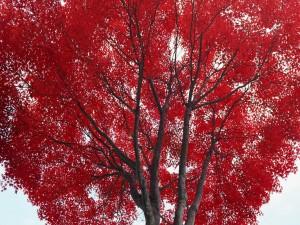 Hojas rojas en un árbol