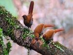 Curioso trío de pájaros en una rama