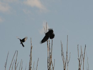 Urracas en vuelo