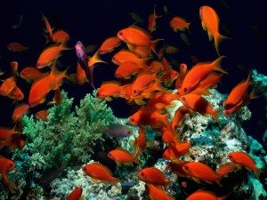 Un banco de peces naranja sobre un arrecife