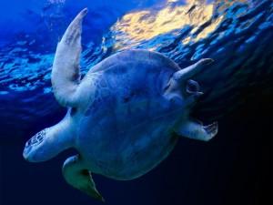 Tortuga nadando en las aguas del mar