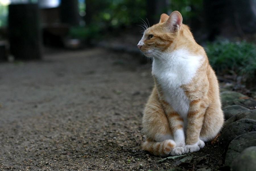 Bonito gato con el pecho blanco