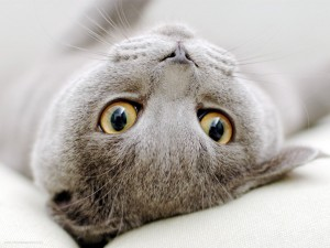 La cabeza de un gato gris